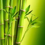 organic bamboo growing