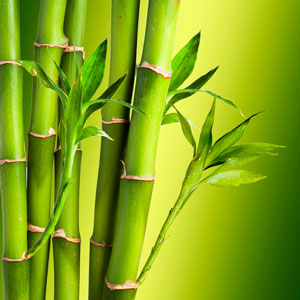 organic bamboo growing