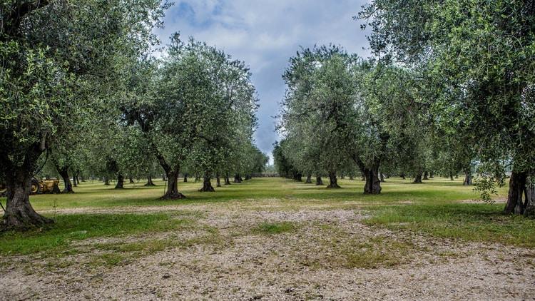 Olive Trees Europe
